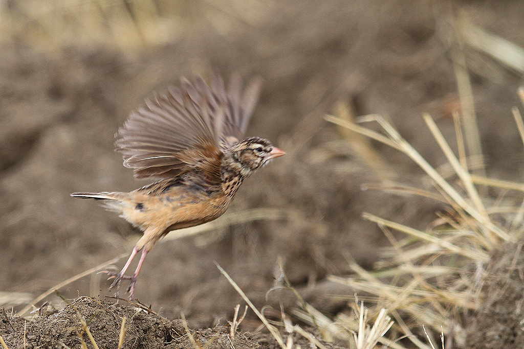 Pink-billed Lark (motion blur) / Rietkuil Road, Devon, South-Africa / 07 May 2014