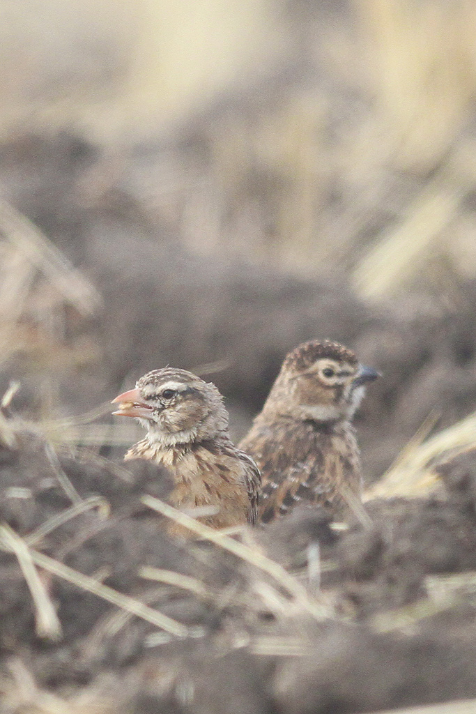Pink-billed-Lark (adult & juvenile) / Rietkuil Road, Devon, South Africa / 07 May 2014