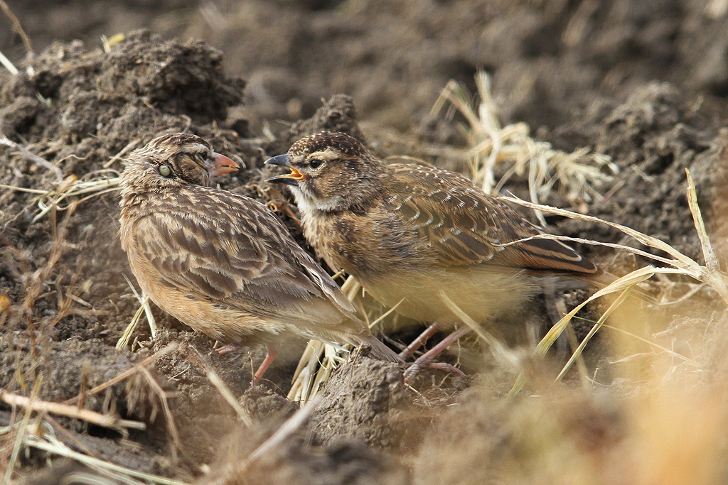 Pink-billed Lark (adult & juvenile) / Rietkuil Road, Devon, South-Africa / 07 May 2014