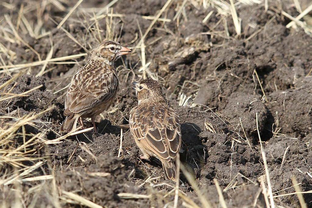 Pink-billed Lark (adult & juvenile) / Rietkuil Road, Devon, South Africa / 07 May 2014