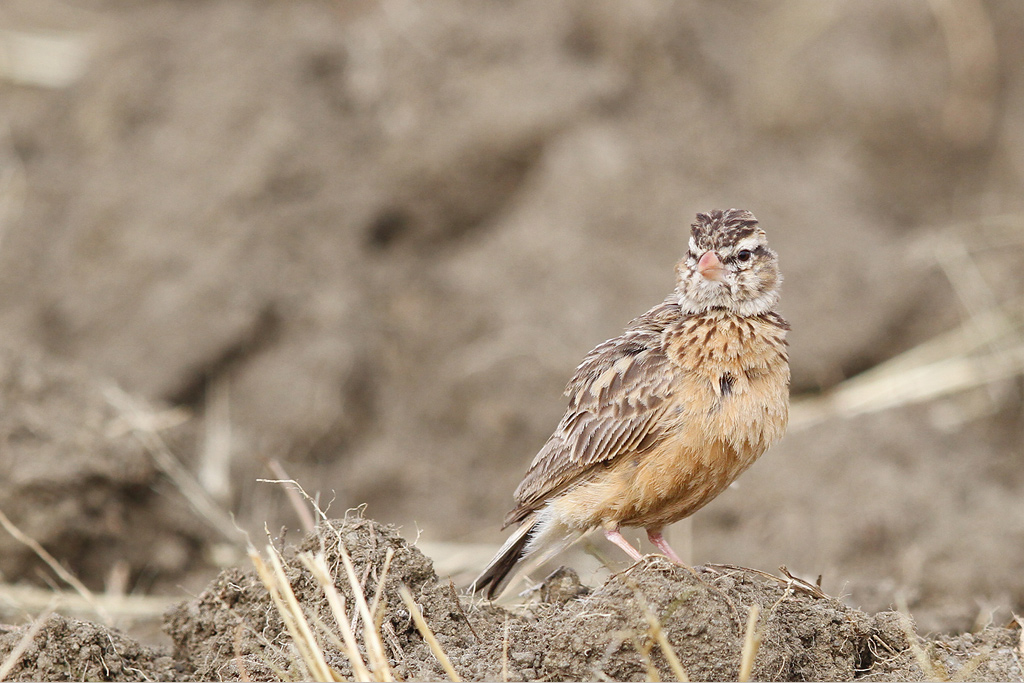 Pink-billed-Lark / Rietkuil Road, Devon, South Africa / 07 May 2014