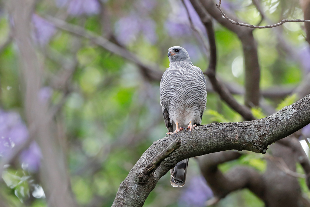 Ovambo Sparrowhawk / near Rosebank, Gauteng,South Africa / 15 September 2019