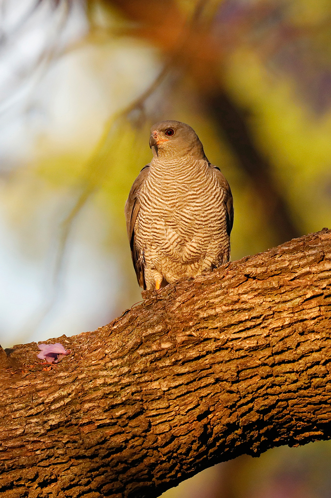 Ovambo Sparrowhawk / near Rosebank, Gauteng,South Africa / 14 September 2019