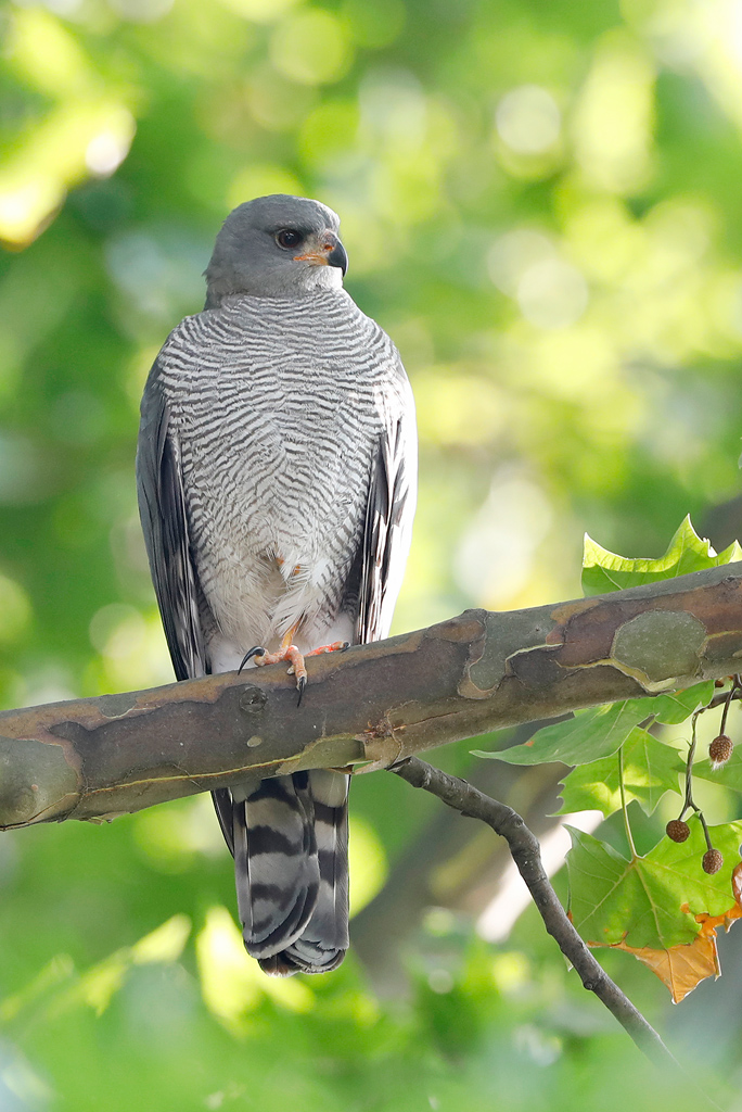 Ovambo Sparrowhawk / near Rosebank, Gauteng,South Africa / November 2019