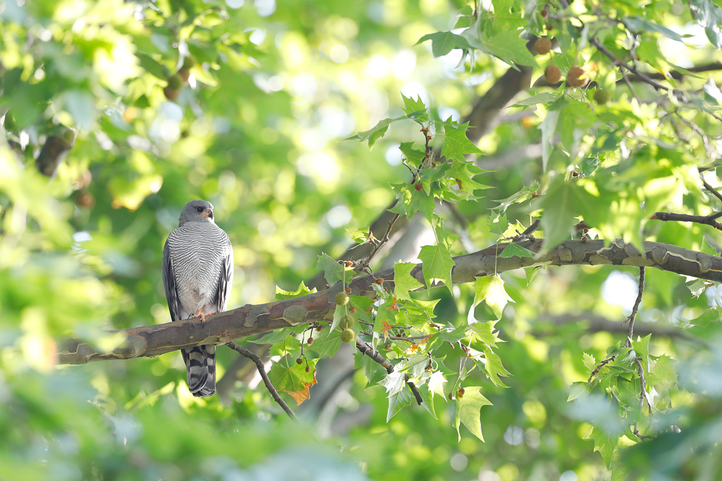 Ovambo Sparrowhawk / near Rosebank, Gauteng,South Africa / November2019