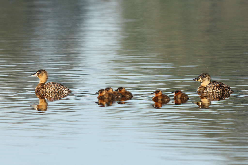 White-backed Duck (adults & ducklings) / Bullfrog Pan, Benoni, South Africa / 01 March 2014