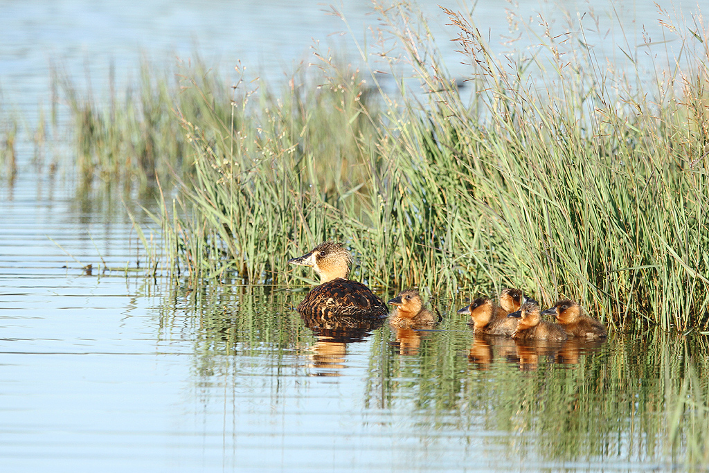 White-backed Duck (adult & ducklings) / Bullfrog Pan, Benoni, South Africa / 01 March 2014