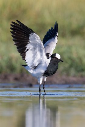 Blacksmith Lapwing / Zibula Colliery, Delmas, South Africa