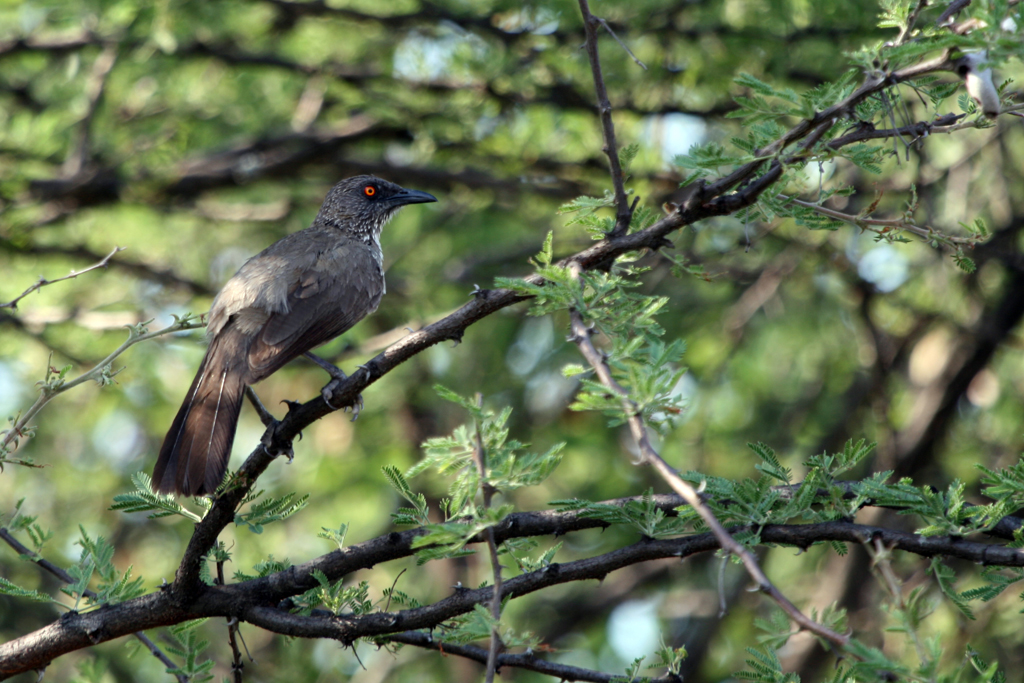 Arrow-marked Babbler (Jardineii) / Borakalalo National Park, South Africa / 30 October 2010