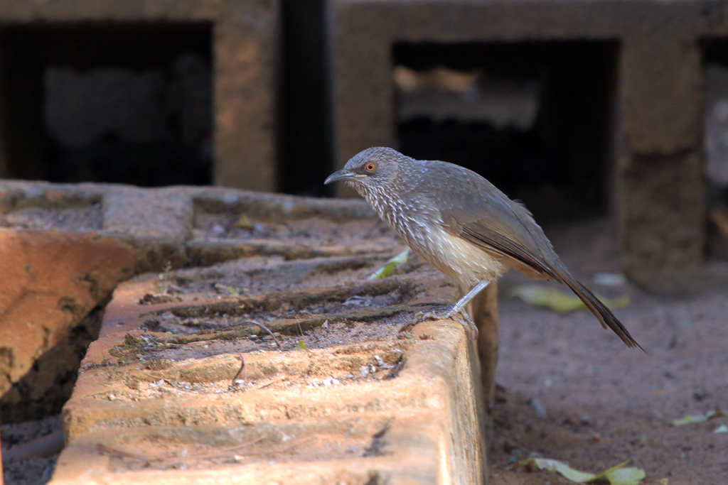 Arrow-marked Babbler (Tamalakanei) / Shamvura, Northern Namibia / 20 July 2012