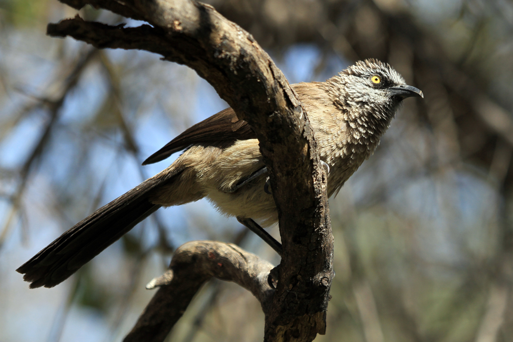 Black-faced Babbler / Kunene River Lodge, Northern Namibia