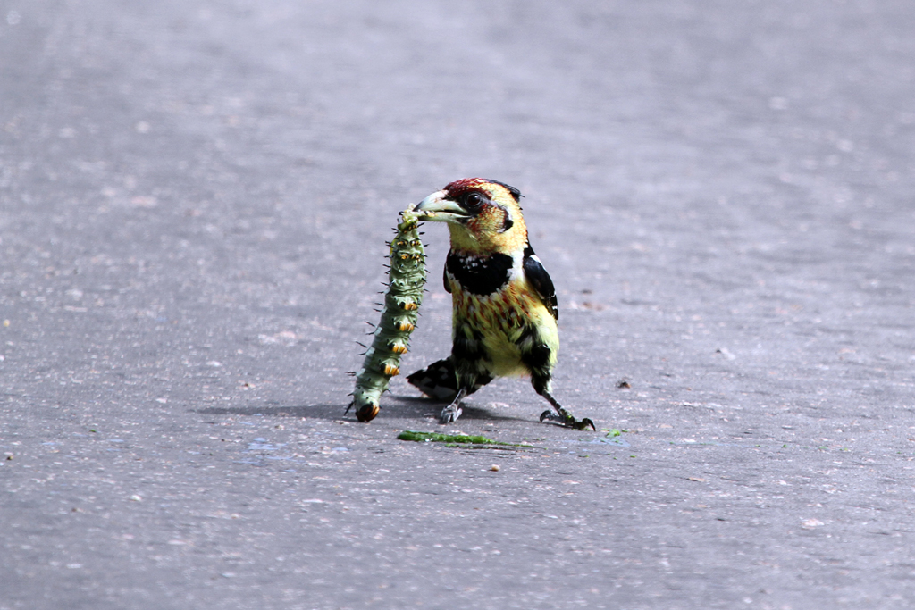 Crested Barbet (Vaillantii) / Southern Kruger National Park, South Africa / 02 March 2012