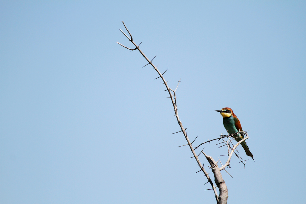 European Bee-eater / Pilansberg National Park, South Africa / 04 March 2011