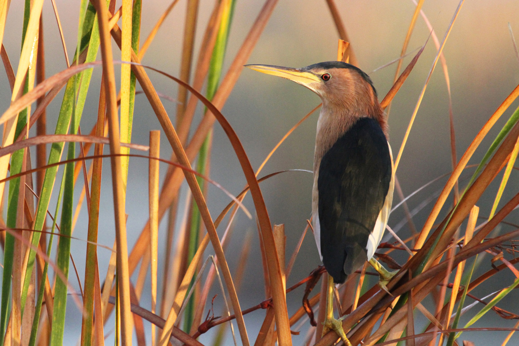 Little Bittern / Marievale Bird Sanctuary, South Africa / 06 May 2011