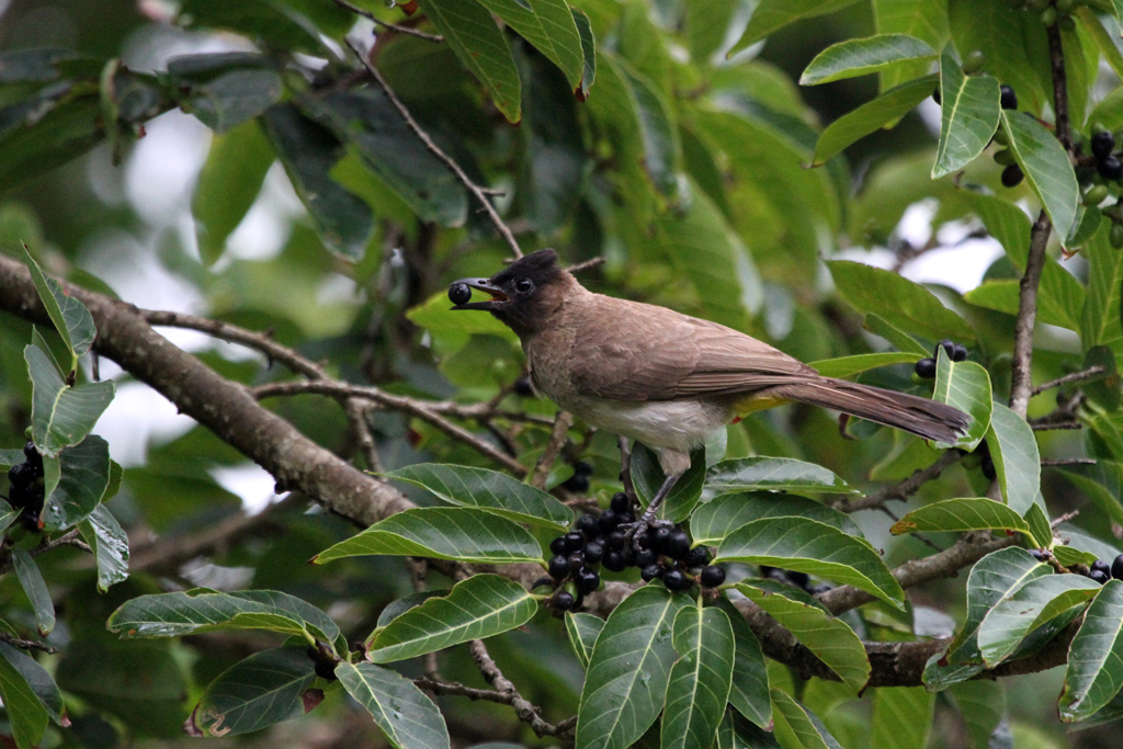 Dark-capped or Common Bulbul (Layardi) / Ocean View, South Coast, KZN, South Africa / 20 January 2011