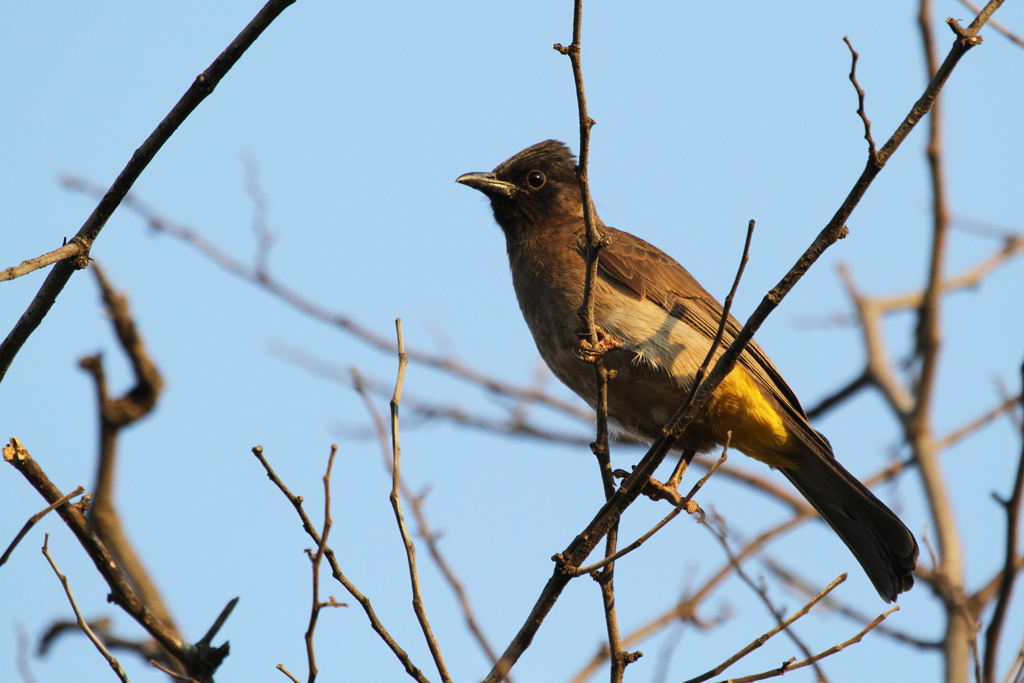 Dark-capped or Common Bulbul (Layardi) / Pilansberg National Park, South Africa / 27 August 2011