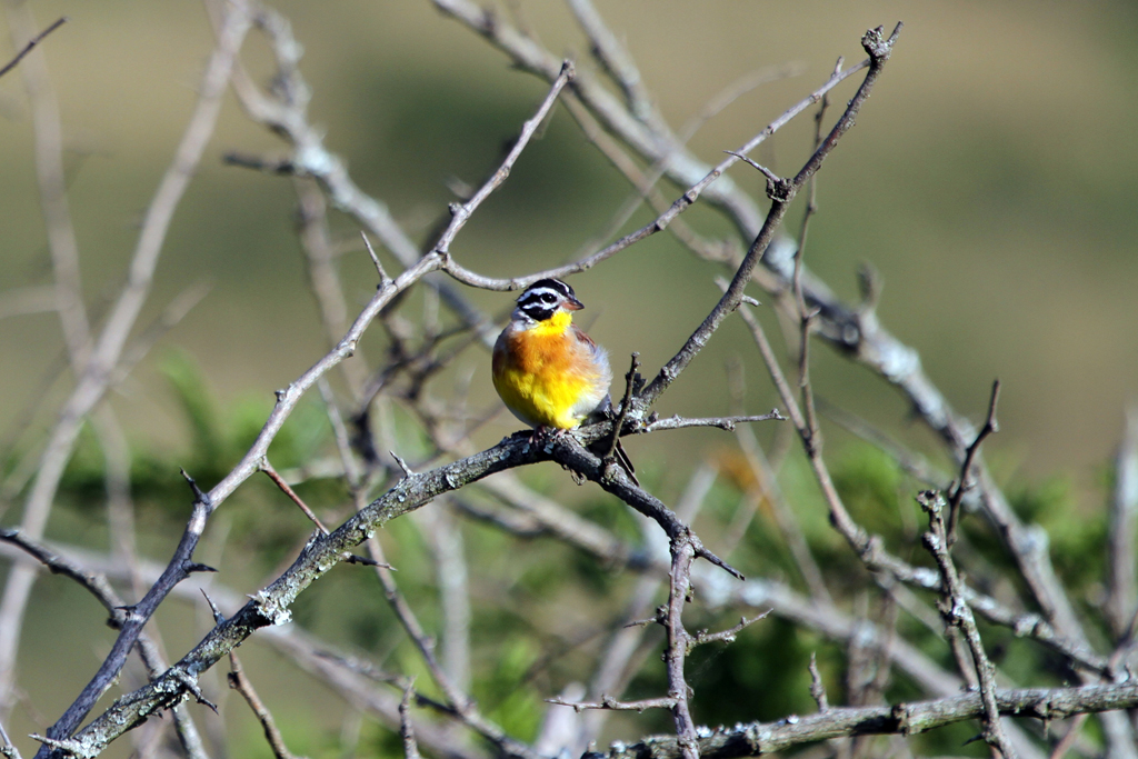 Golden-breasted Bunting (Flaviventris) / Hluhluwe Game Reserve, South Africa / 17 March 2011