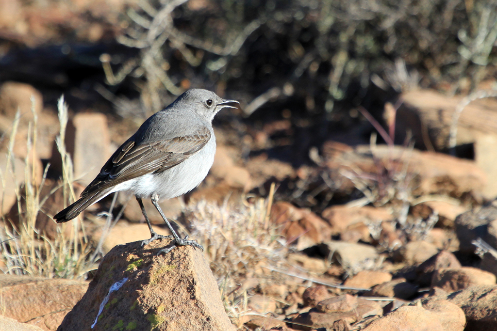 Karoo Chat (Pollux) / Karoo National Park, South Africa / 29 June 2012