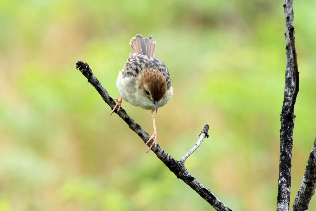Wailing Cisticola / Thendele, Northern Drakensberg, South Africa / 01 November 2012
