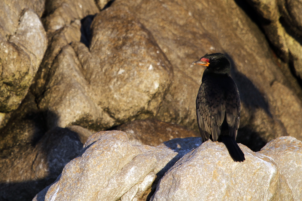 Crowned Cormorant / Betty's Bay, South Africa / 12 March 2011