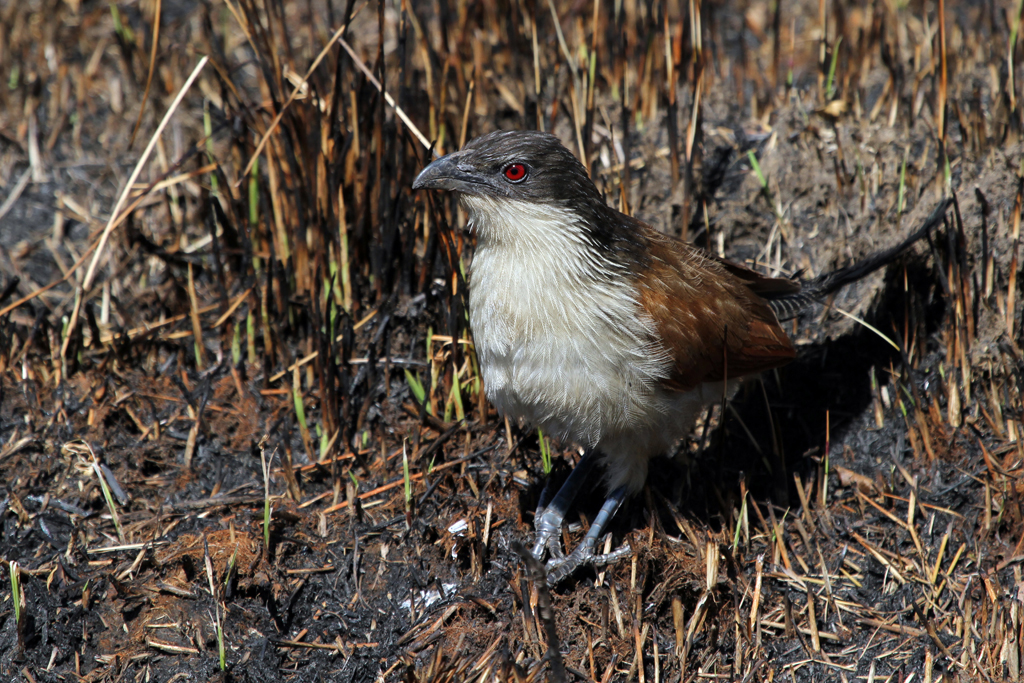 Burchell's Coucal (Burchellii) / Old Verdana Spa Road, South Africa / 19 August 2011