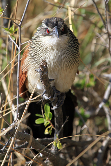 White-browed Coucal / Mahango Game Reserve, Northern Namibia / 22 July 2012