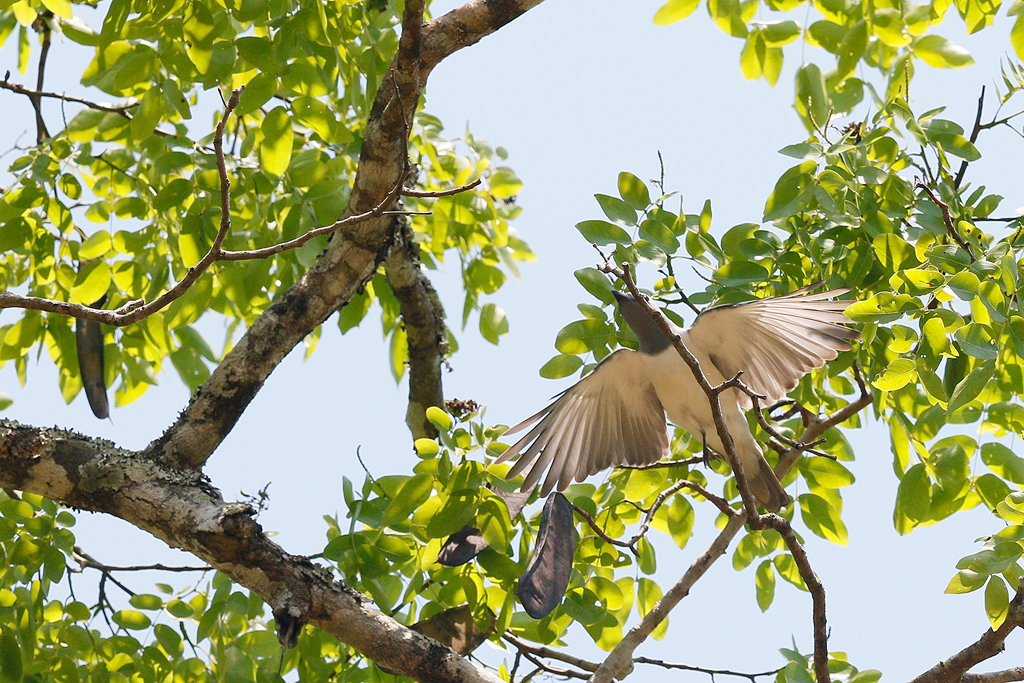 White-breasted Cuckoo-shrike / Miombo Woodland, Coutada 12, Mozambique / 10 October 2015