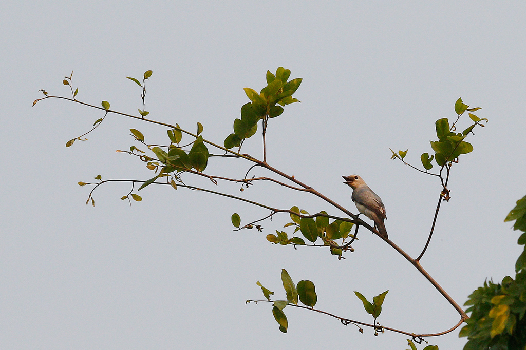 White-breasted Cuckoo-shrike / Miombo Woodland, Coutada 12, Mozambique / 15 October 2015
