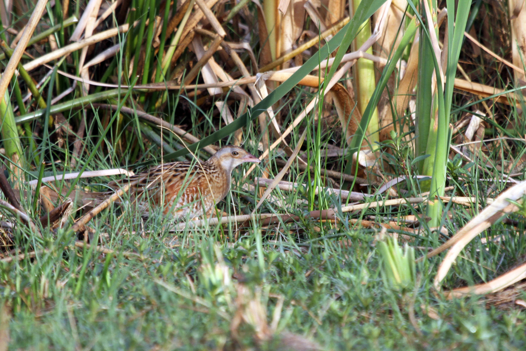 Corn Crake / Mkhombo Dam Nature Reserve, South Africa / 15 December 2011