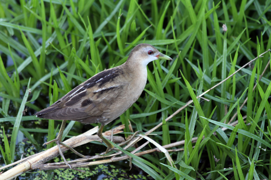 Little Crake – female / Clovelly, Fish Hoek, South Africa / 27 March 2012
