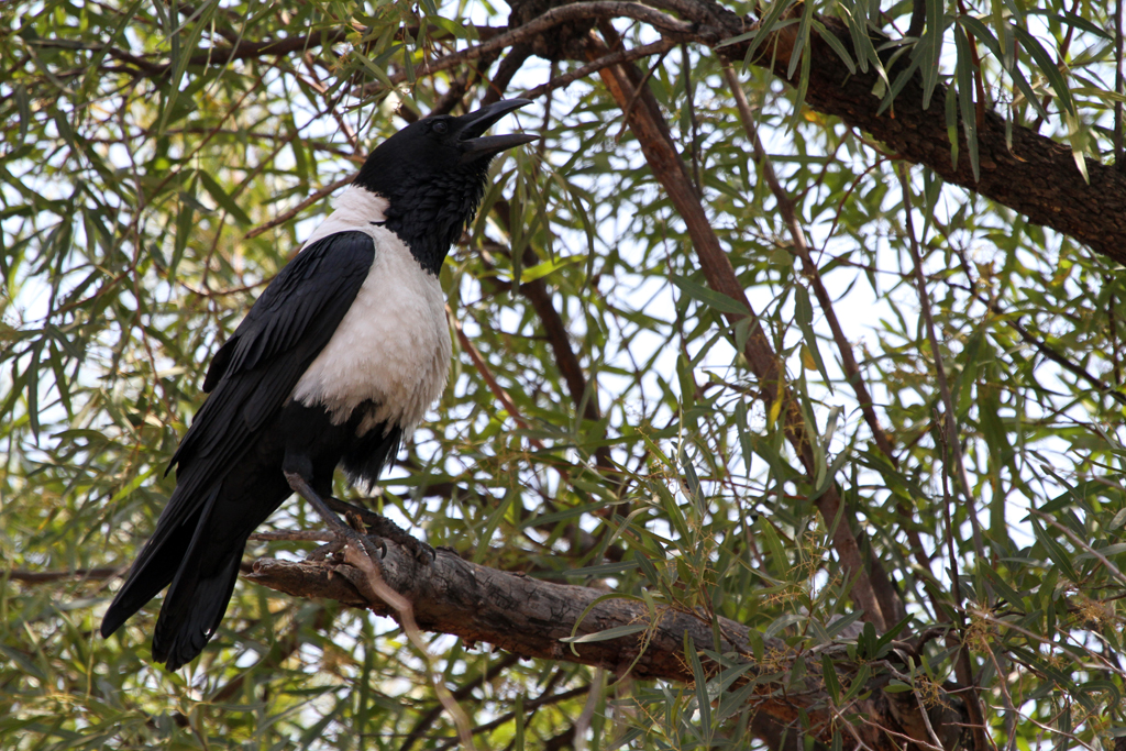 Pied Crow / Pilansberg Game Reserve, South Africa / 27 August 2011
