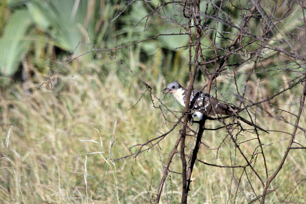 Great Spotted Cuckoo / Northern Kruger National Park, South Africa / 03 February 2012