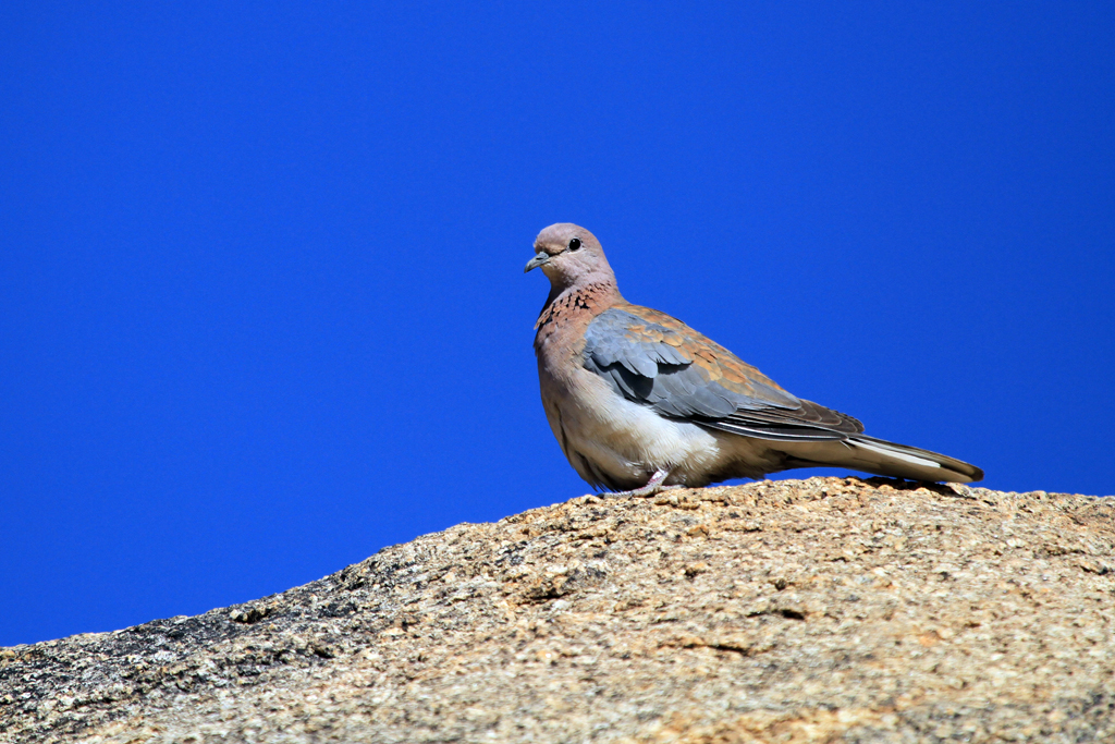 Laughing Dove / Erongo Wilderness Camp, Central Namibia / 27 July 2012