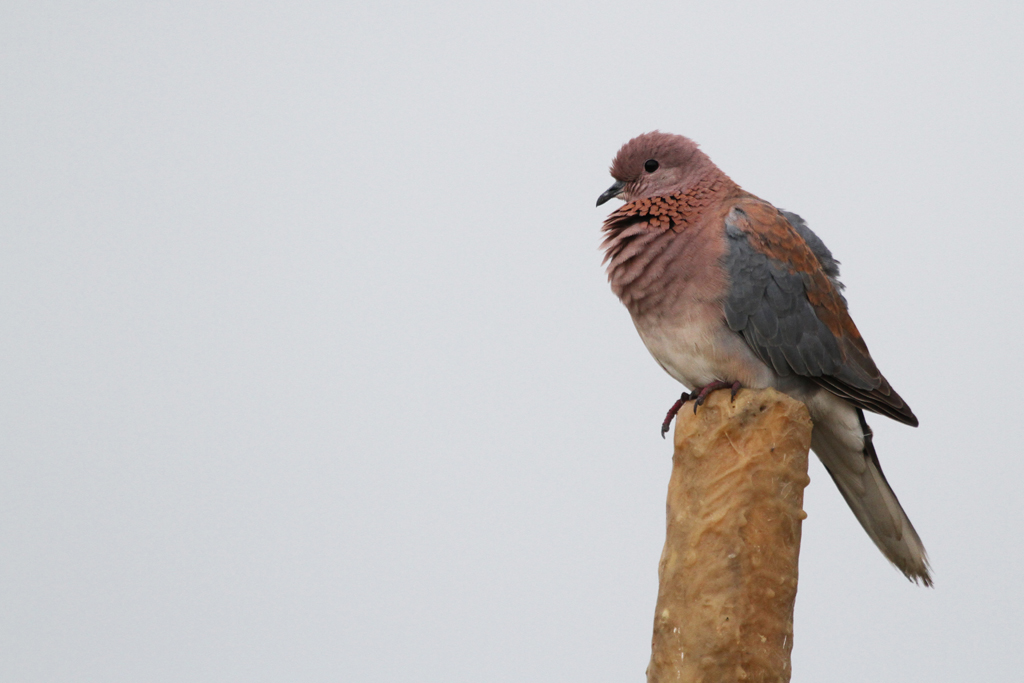 Laughing Dove / Marievale Bird Sanctuary, South Africa / 17 February 2012