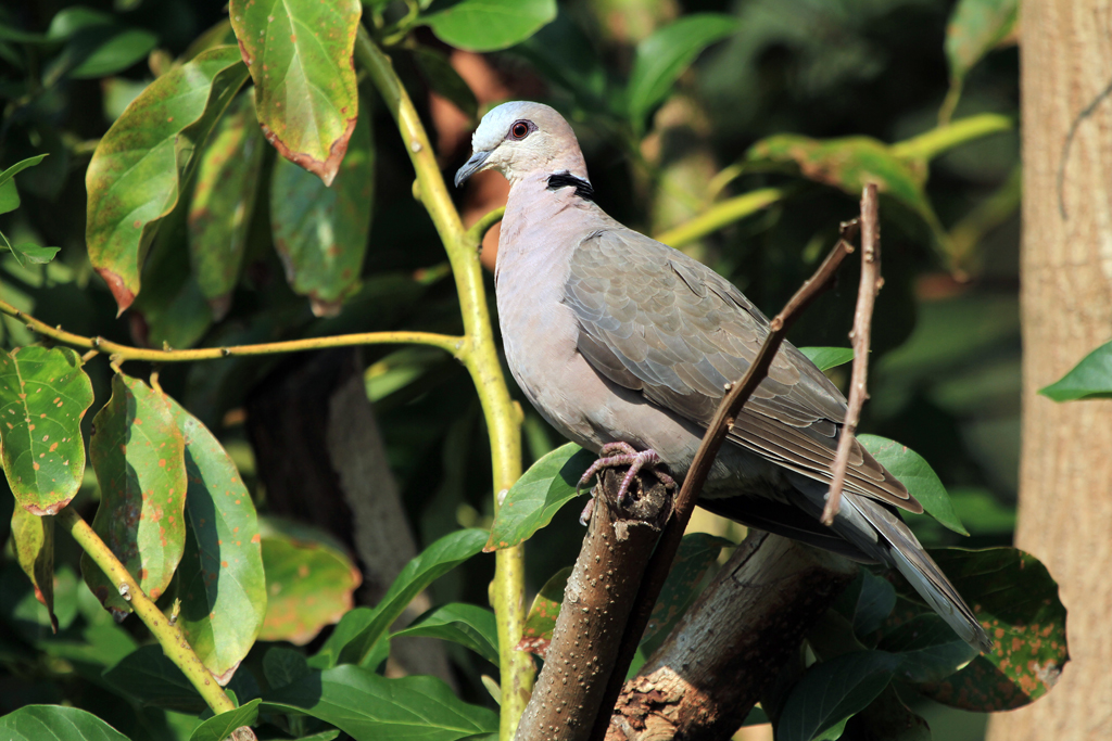 Red-eyed Dove / Ocean View, South Coast KZN, South Africa / 24 August 2012