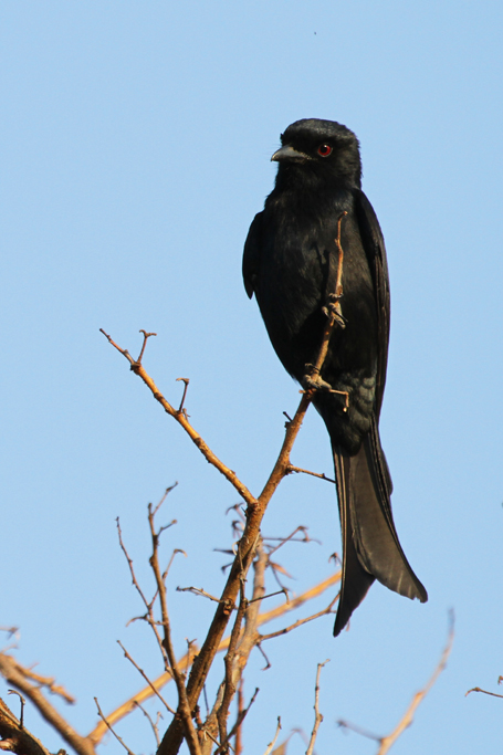 Fork-tailed Drongo (Apivorus) / Pilansberg National Park, South Africa / 27 August 2011