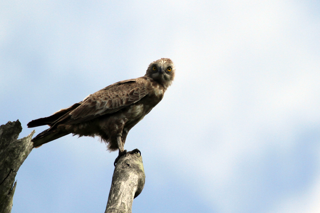 Brown Snake-eagle / Ocean View, South, Coast, KZN, South Africa / 29 December 2011