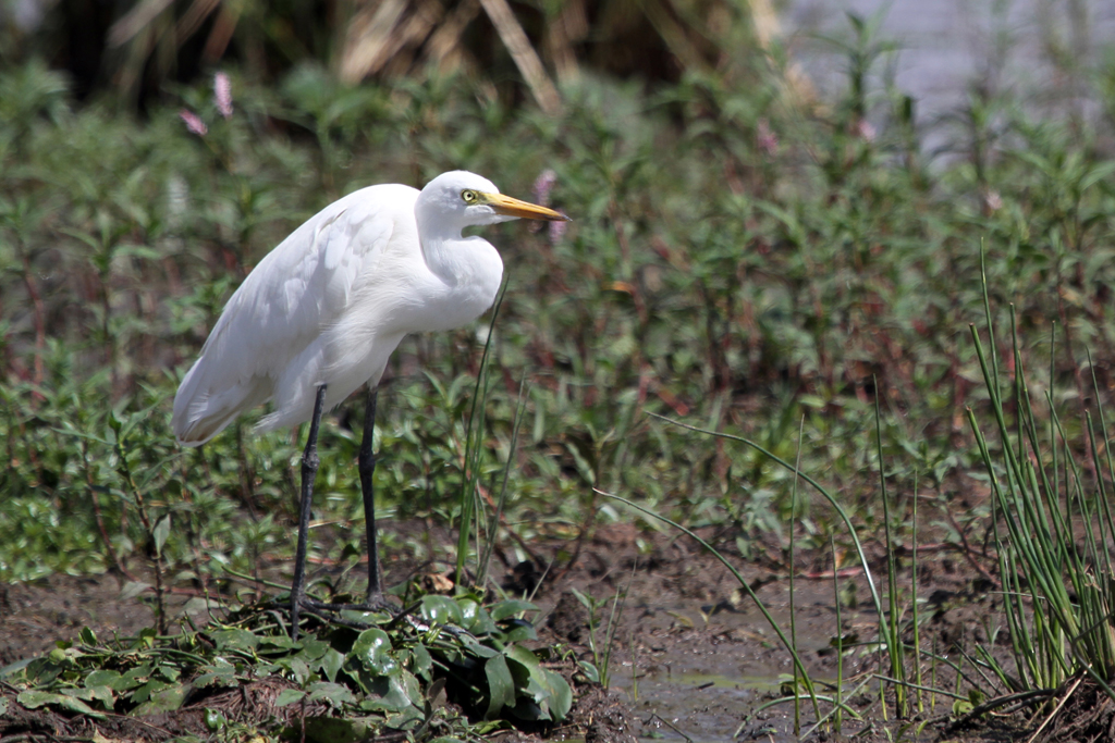 Cattle Egret / Mkhombo Dam Nature Reserve, South Africa / 15 December 2011