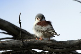 Pygmy Falcon / Zebra River Lodge, Southern Namibia / 06 July 2012