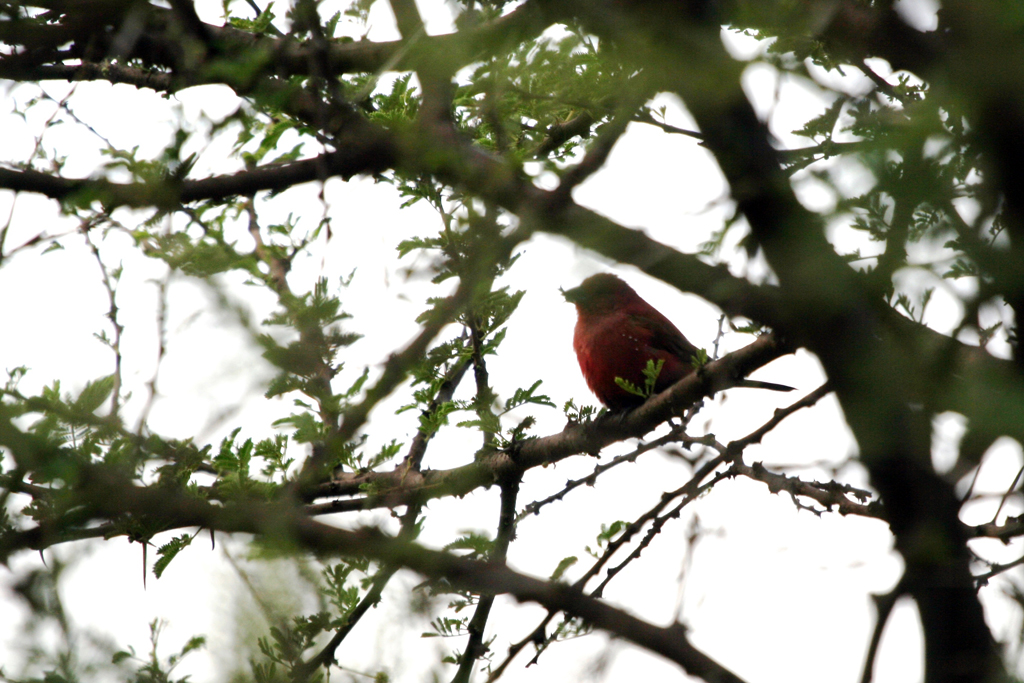 Jameson's Firefinch – male / Rust de Winter Dam, South Africa