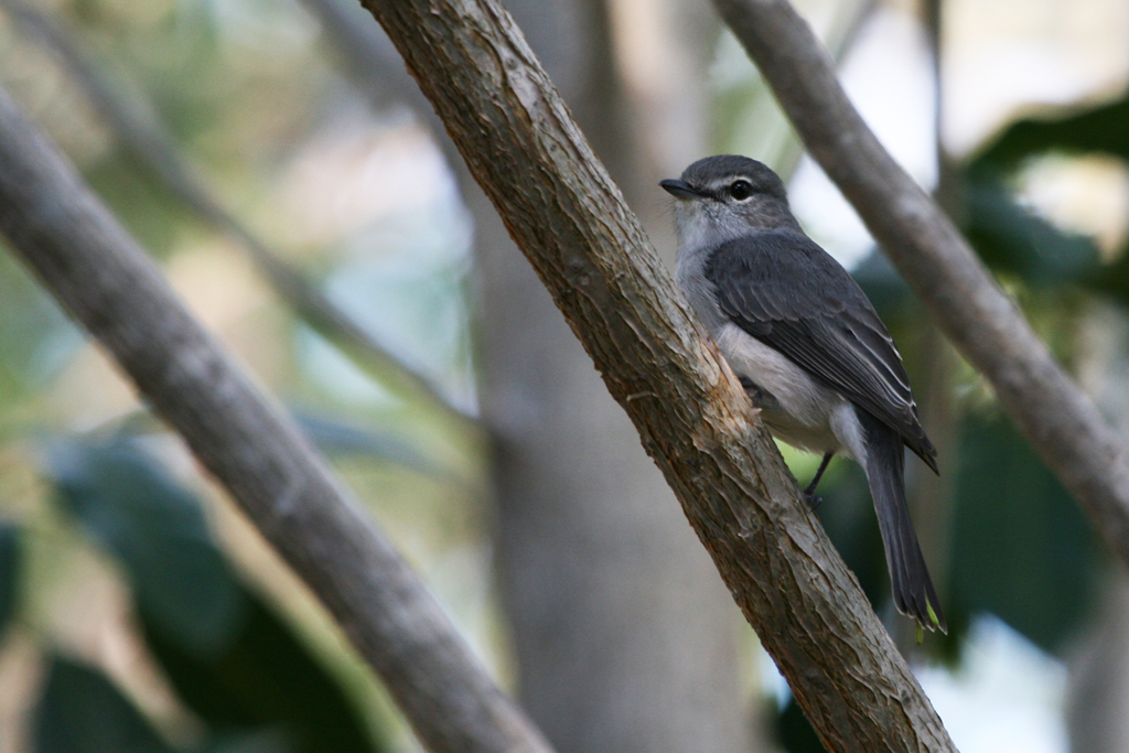 Ashy or Blue-grey Flycatcher (Caerulescens) / Mkuze Falls Game Reserve, South Africa