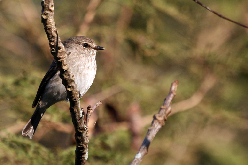 African Dusky Flycatcher / White River, South Africa / 05 June 2012