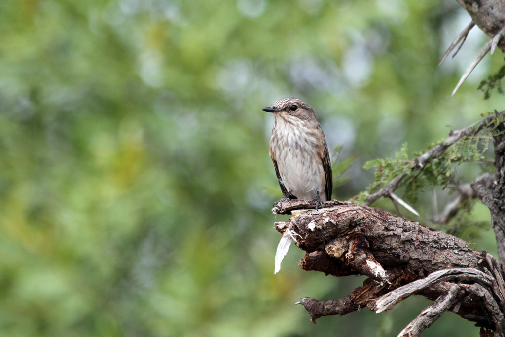 Spotted Flycatcher / Southern Kruger National Park, South Africa