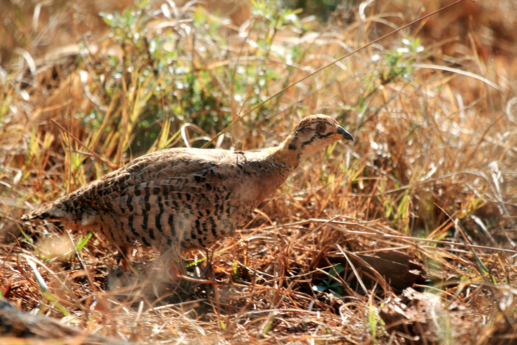 Coqui Francolin – female / Rietvlei Nature Reserve, South Africa