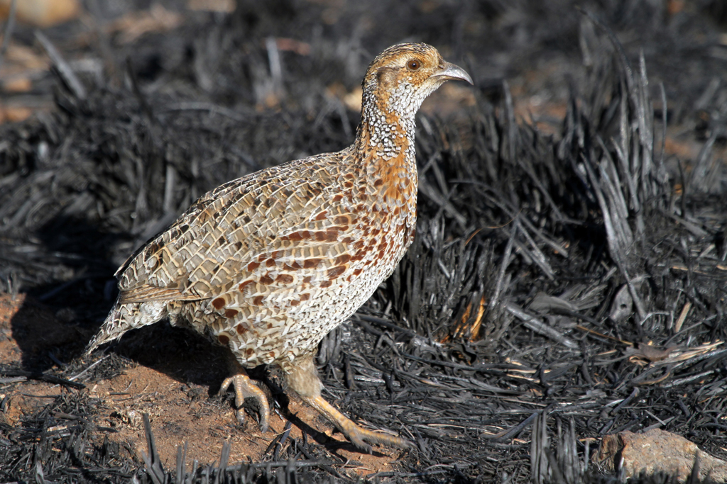 Grey-winged Francolin / Suikerbosrand Nature Reserve, South Africa