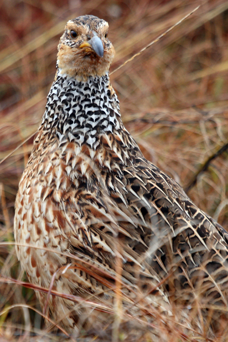 Red-winged Francolin / Rietvlei Nature Reserve, South Africa