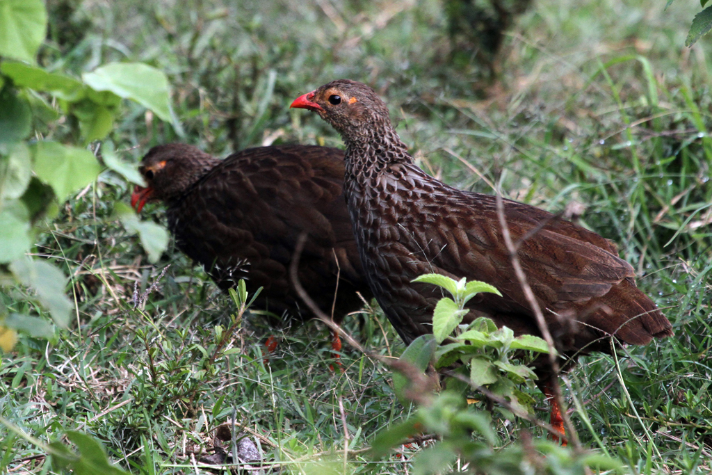 Scaly Francolin / The Ark, Aberdares National Park, Kenya