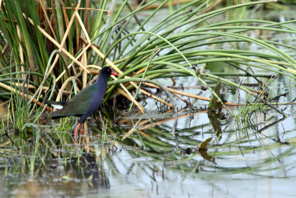 Allen's Gallinule / Mkhombo Dam Nature Reserve, South Africa
