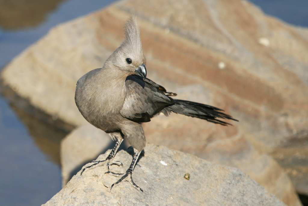 Grey Go-away-bird / Pilansberg Game Reserve, South Africa
