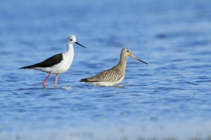 Godwits Bird Photography